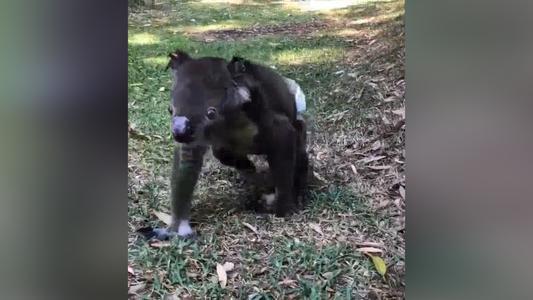 Rescate de animales en Australia: Impactantes videos conmueven al mundo