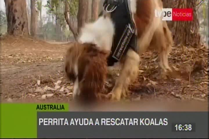 Taylor, la perrita que ayuda a rescatar koalas en los incendios de Australia