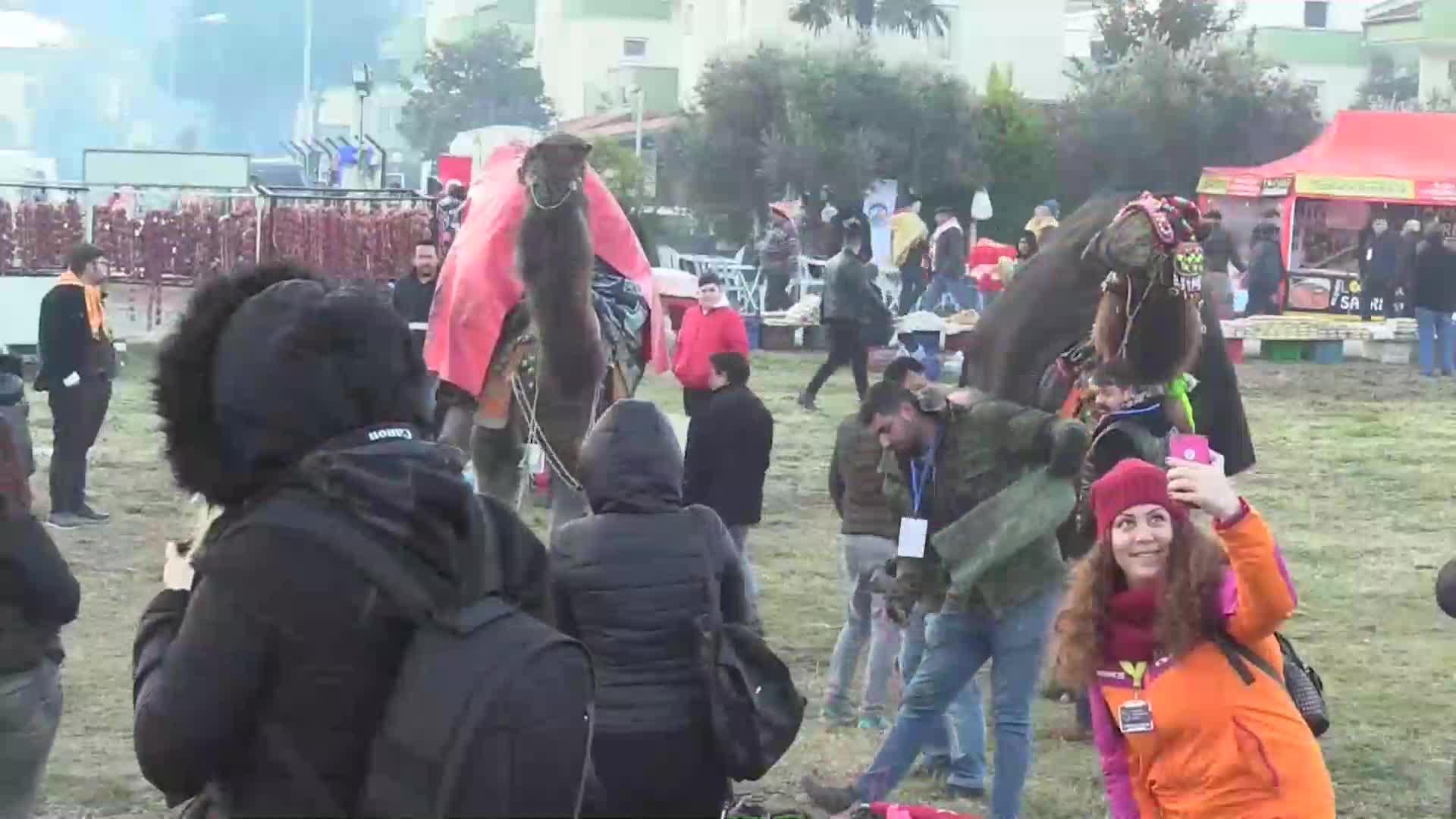 Unos 170 camellos participan en un festival de lucha de estos animales en Selçuk