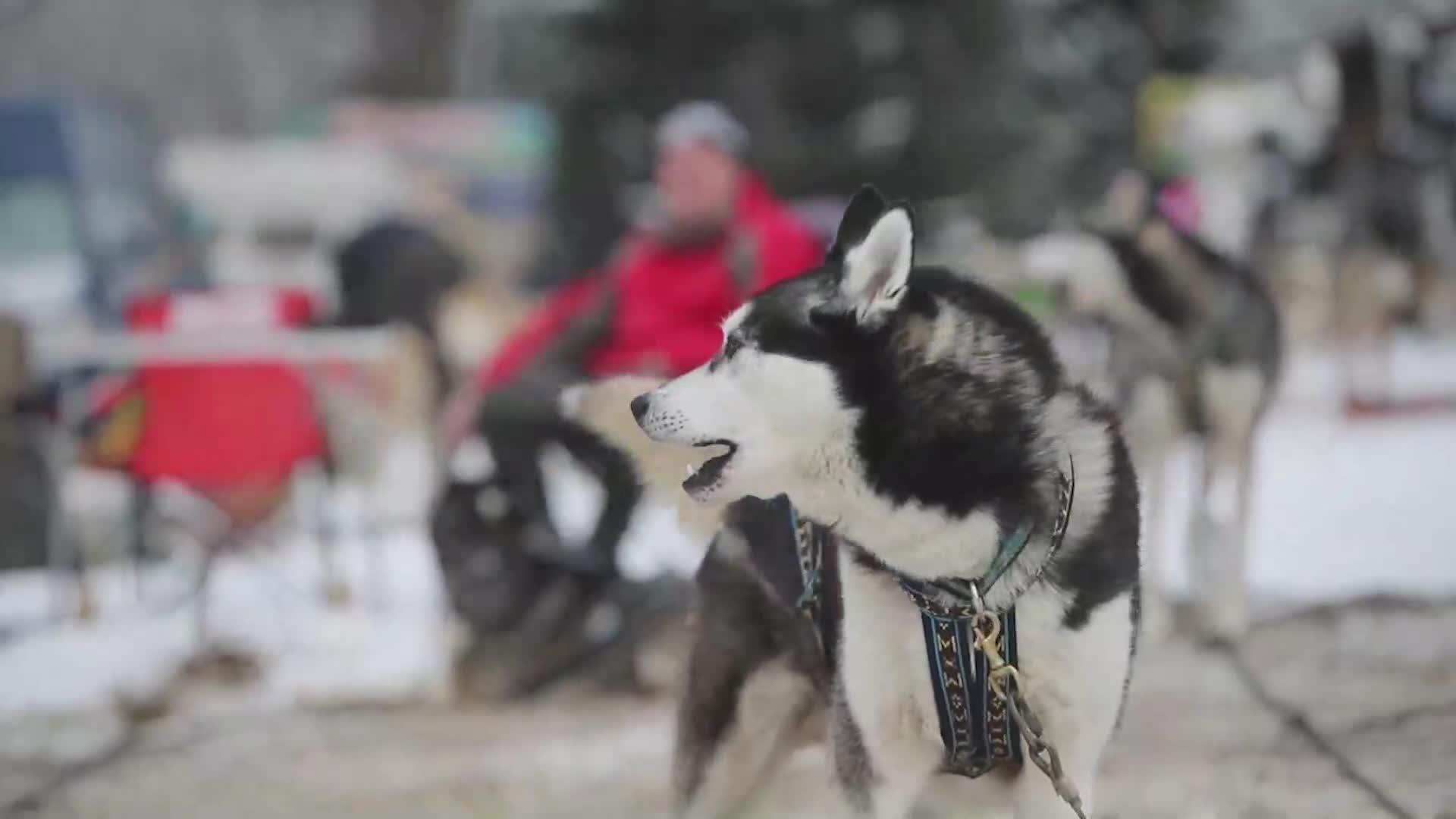 Más de 500 perros y 80 personas participan en una carrera de trineos en República Checa