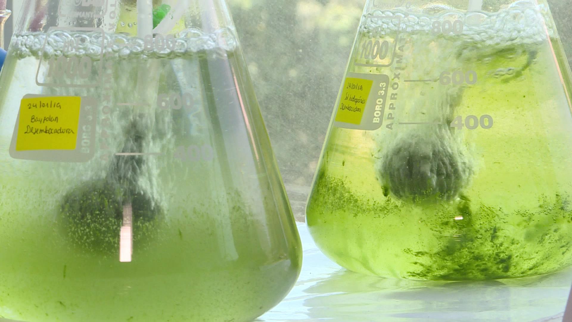 Diminutas algas pueden ayudar a descontaminar los lagos del país | VIDEO