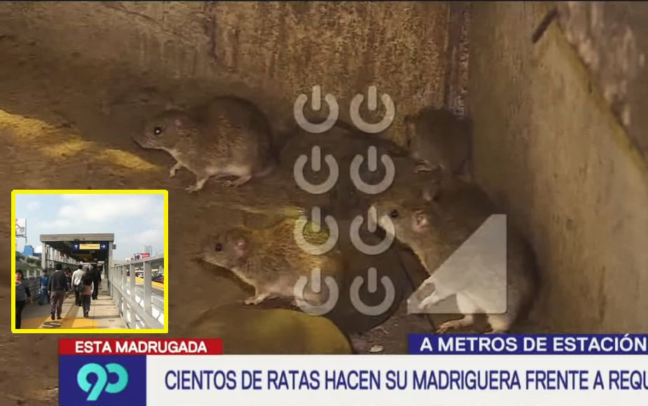 Cientos de ratas hacen madriguera cerca de estación del Metropolitano en la Vía Expresa