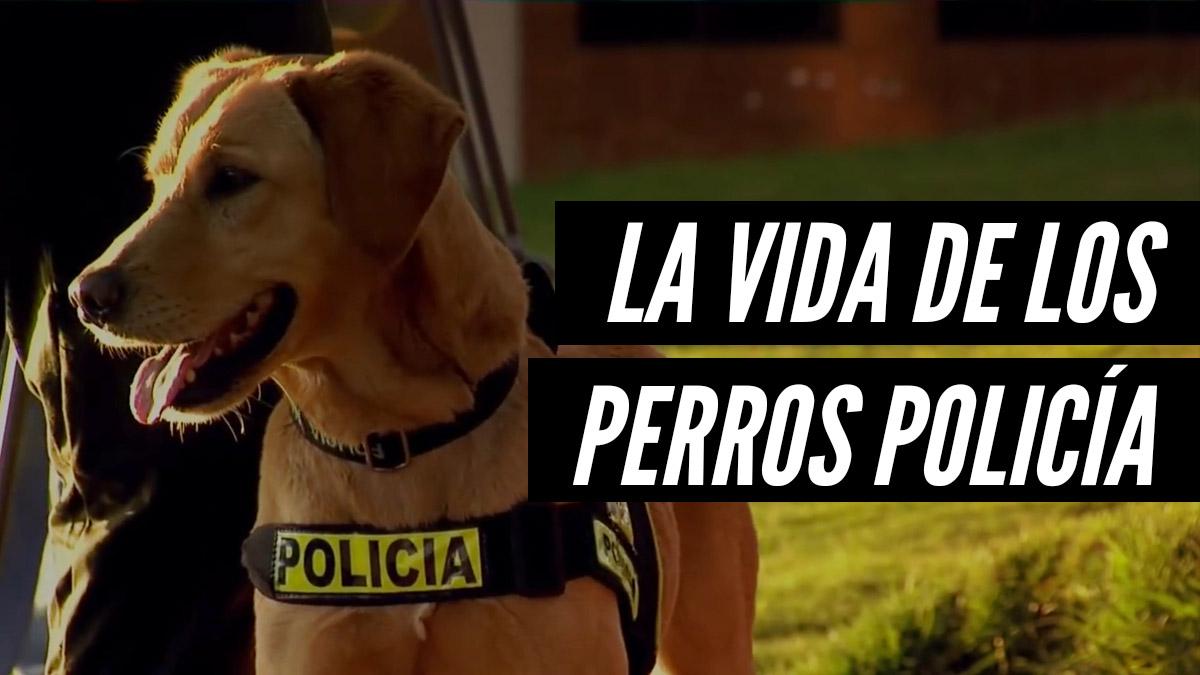 Perros policía: ¿cómo un can puede convertirse en un agente del orden?