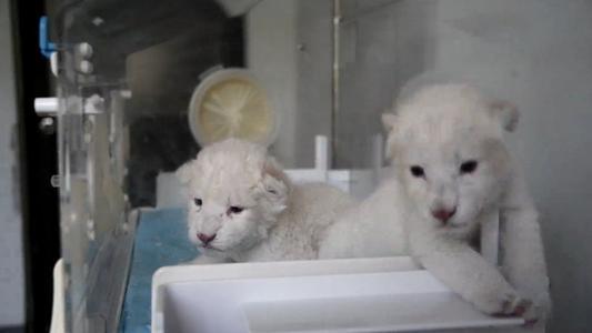 Nace par de cachorros de león blanco en este de China