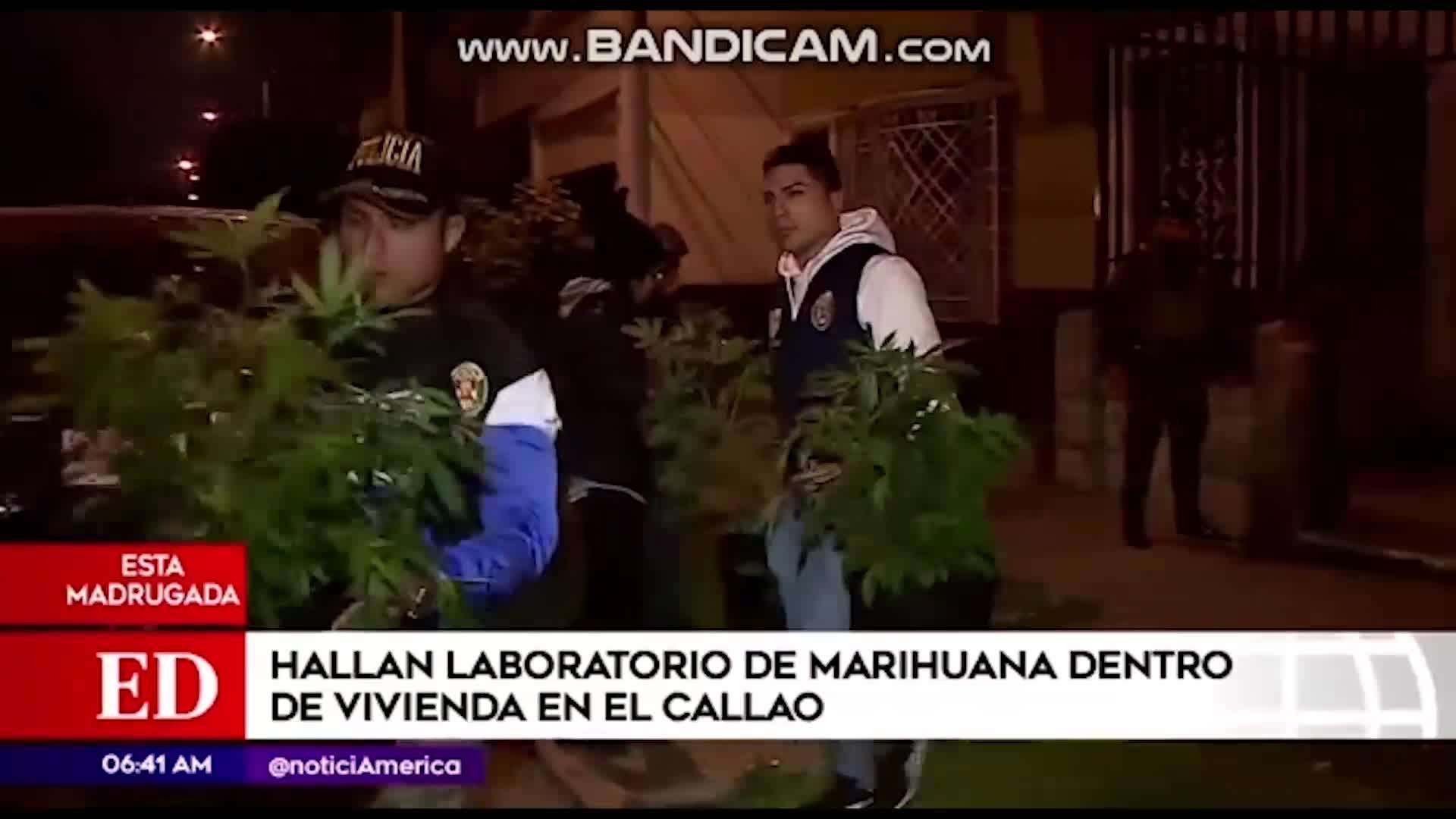 Callao: hallan plantación de marihuana dentro de vivienda