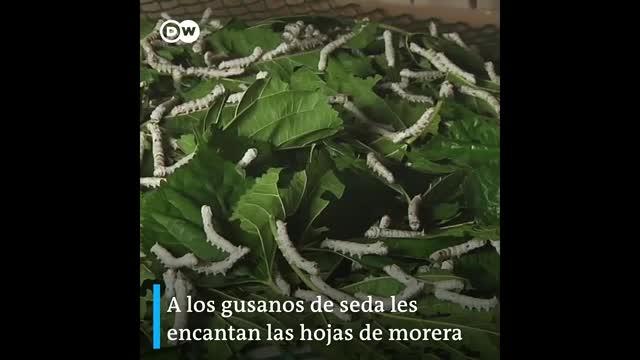 Kenia: cambio climático favorece a la crianza de gusanos de seda
