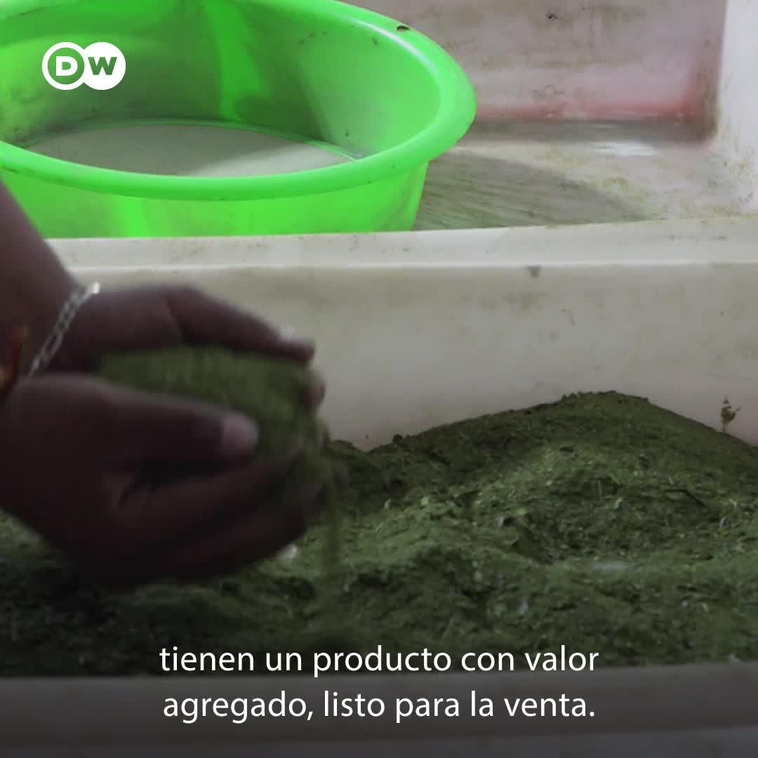 Paraguay: cultivo de mate como fuente de ingreso
