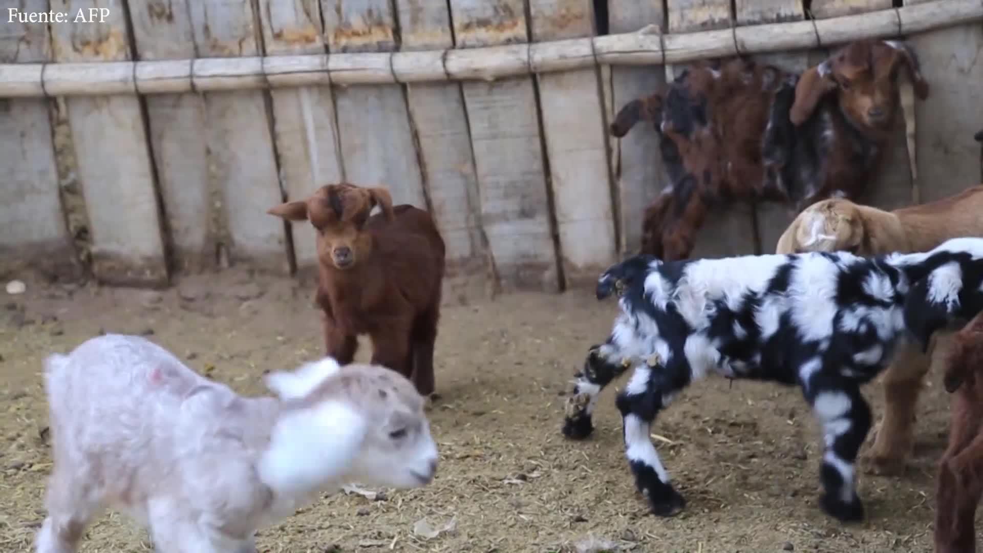 La cría de cabras, golpeada por la sequía en la tierra del Malbec en Argentina