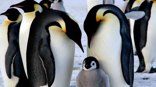 ¿El pingüino emperador marcha a la extinción?