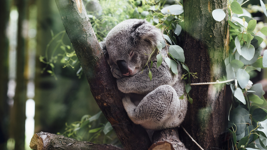 El drama de los indefensos koalas ante los incendios en Australia