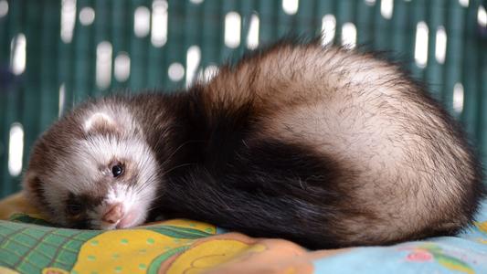 El hurón: Recomendaciones para adoptar a esta simpática mascota