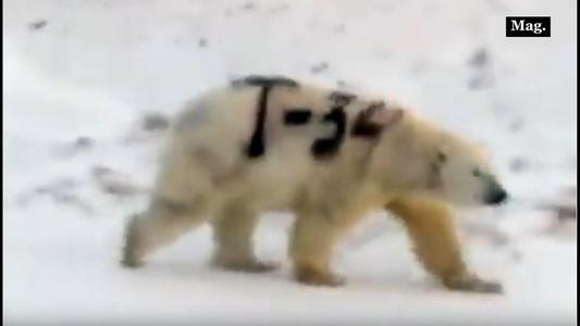 Pintan graffiti sobre oso polar y científicos temen que no sobreviva | VIDEO