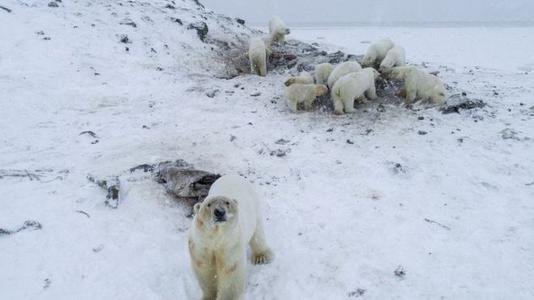 Cambio climático: manada de más de 50 osos polares flacos y hambrientos buscan comida en aldea Rusa