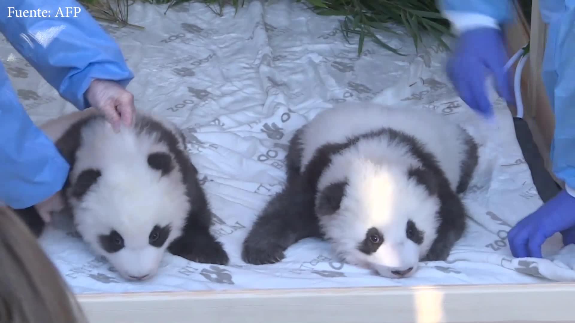 El zoológico de Berlín presenta en sociedad a dos bebés pandas gemelos